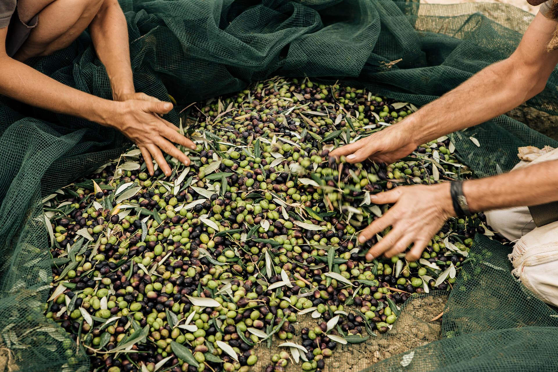Olive Harvest, Chateau Leoube, Film, Photography, France, Agency, WeAreShuffle, Olive, Sunset