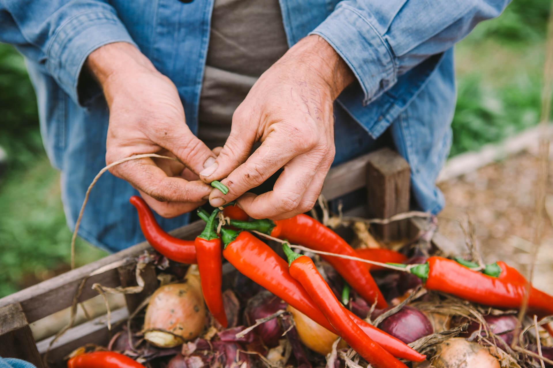 Daylesford, Daylesford Organic, Organic, Farm, Field, Green, Grass, Landscape, Chilli, Peppers, Summer, Photography, Agency, Marketing, Gloucestershire, WeAreShuffle, Autumn