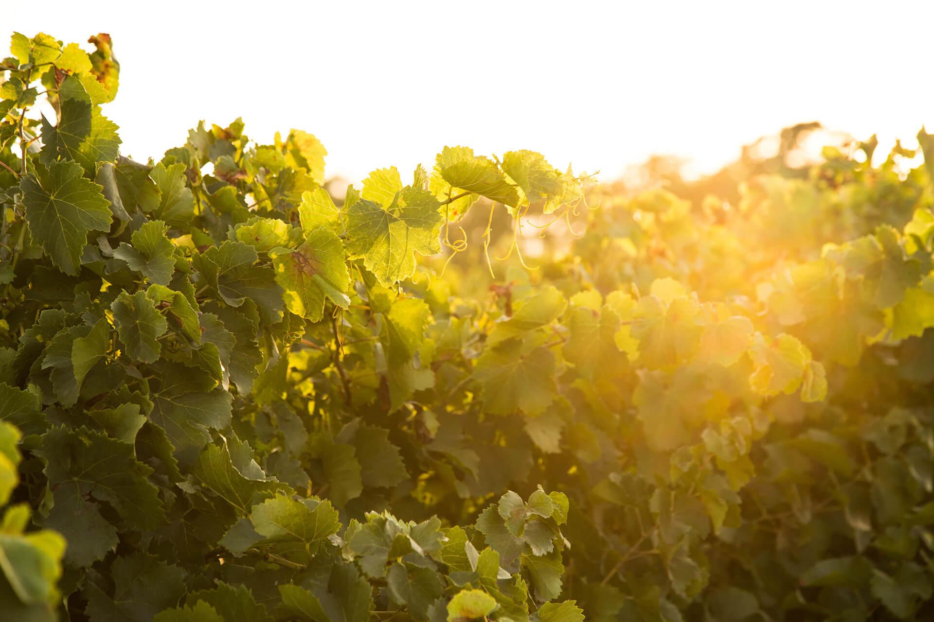 Chateau Leoube, South of France, Bamford, Organic, Greenery, Landscape, Sun Light, Sun Set