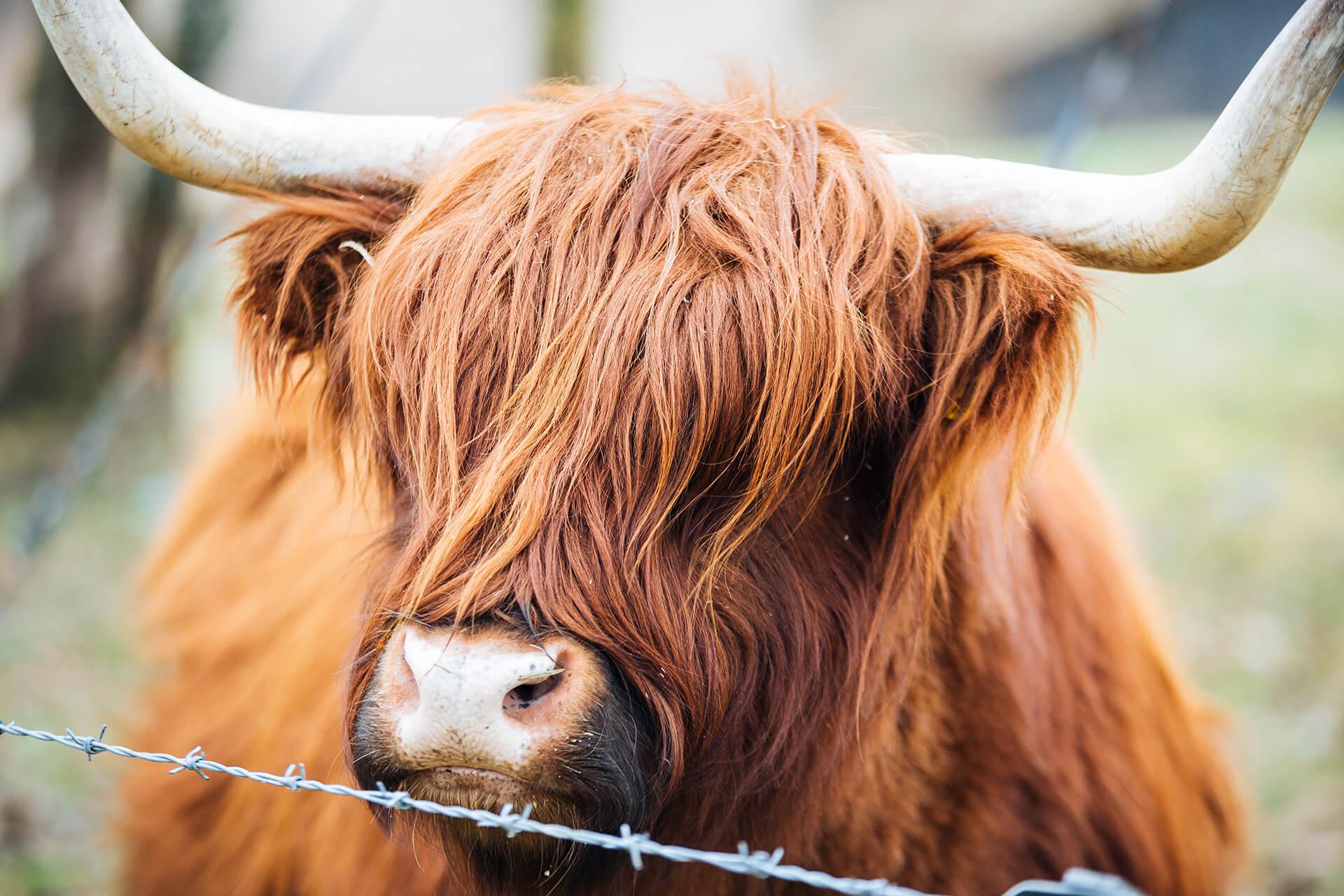 Highland Cattle, Wild Britain, Barbour, Field Animal, Agency, WeAreShuffle, Shuffle