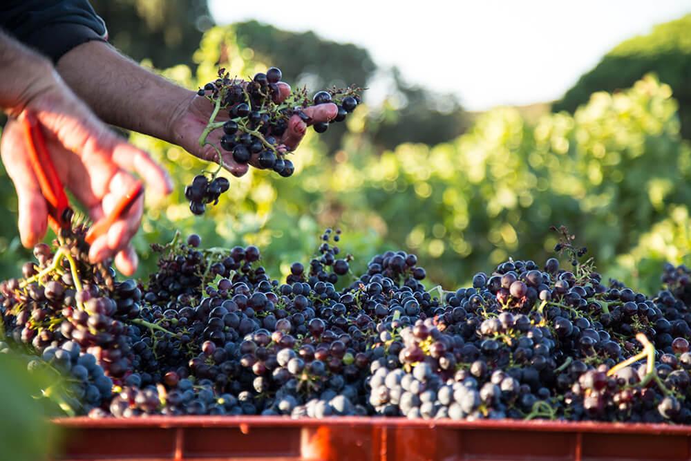 Chateau Leoube, Rose, Wine, South of France, Bamford, Organic, Grapes, Hand, Bushes