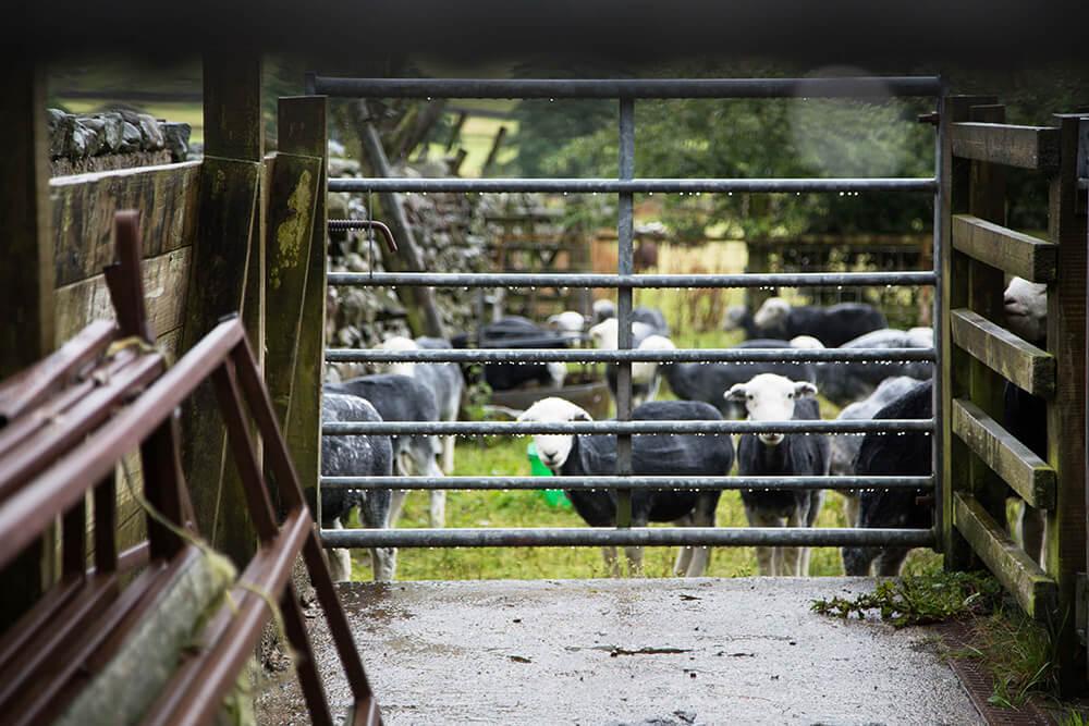 Cherchbi, Herdwick Common, Landscape, England, Photography, Agency, Film, Sheep, Gate, Farm