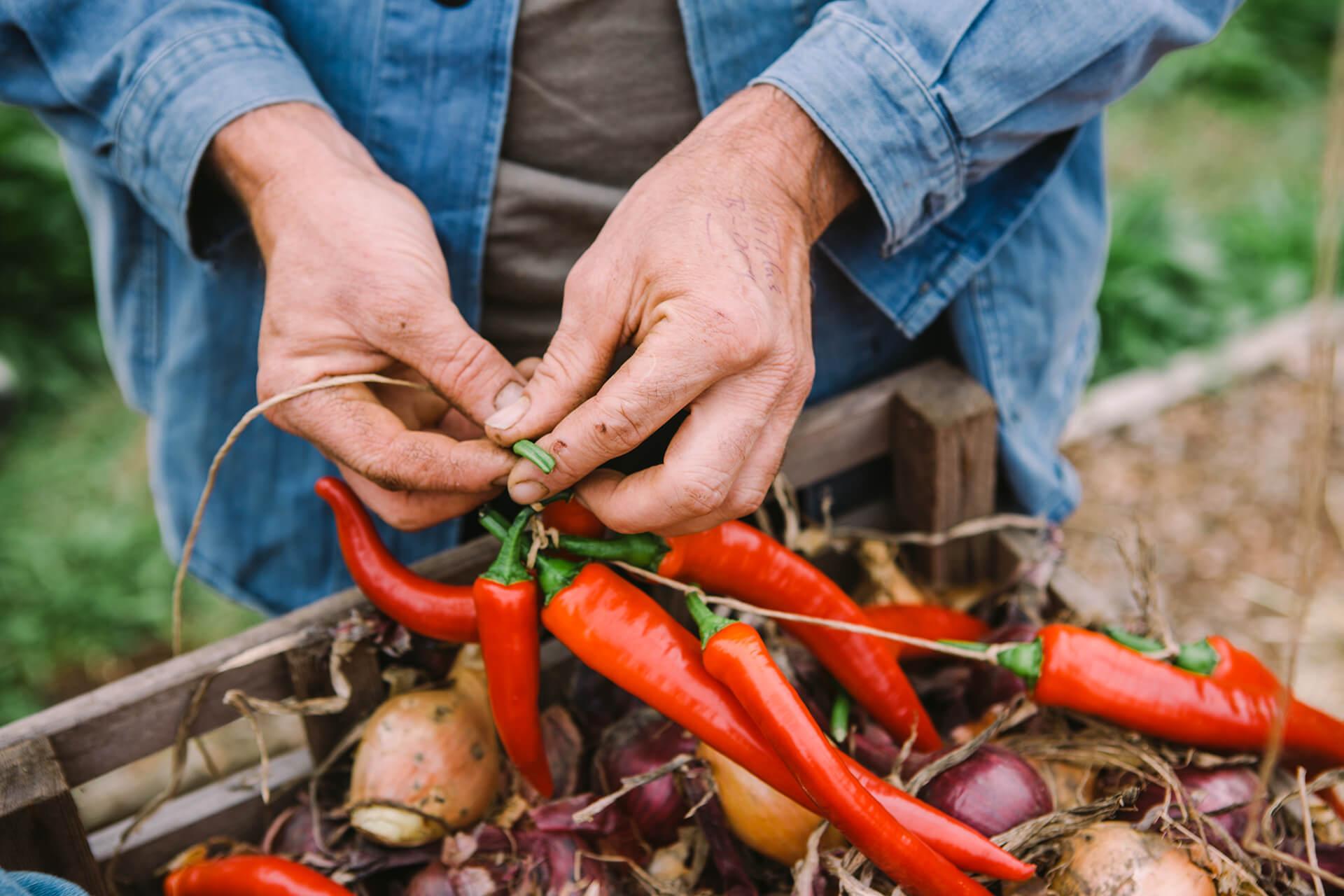 Organic, Growing, Daylesford, Photography, Film, Garden, WeAreShuffle, Agency, Farmer, Jez Taylor, Chilli, Organic Growing